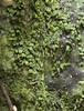 Florida bristle fern (Trichomanes punctatum ssp. floridanum)