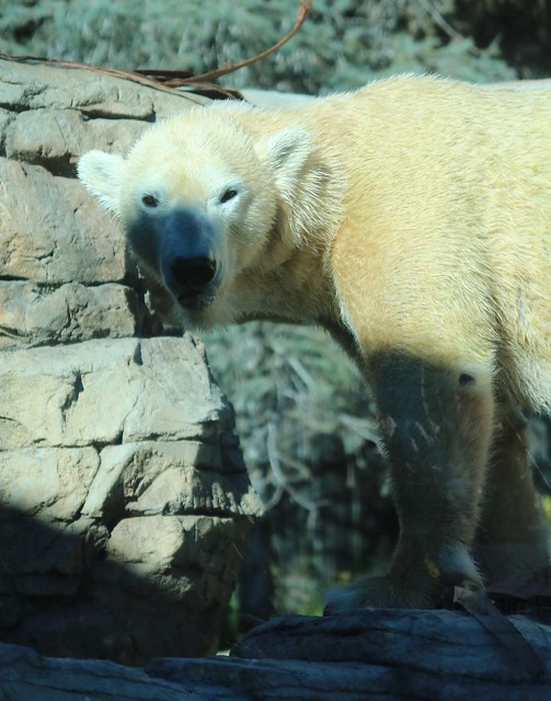 Polar Bears - Kalluk catching the light