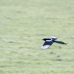 Another shot focusing on movement. This time a Magpie in flight over grass. I love the colours as well quite muted (it was wet rather than frosty).  #bird #birds #birdphoto #birdsinflight #birdphotography #nature #naturephoto #naturephotography #wildlife