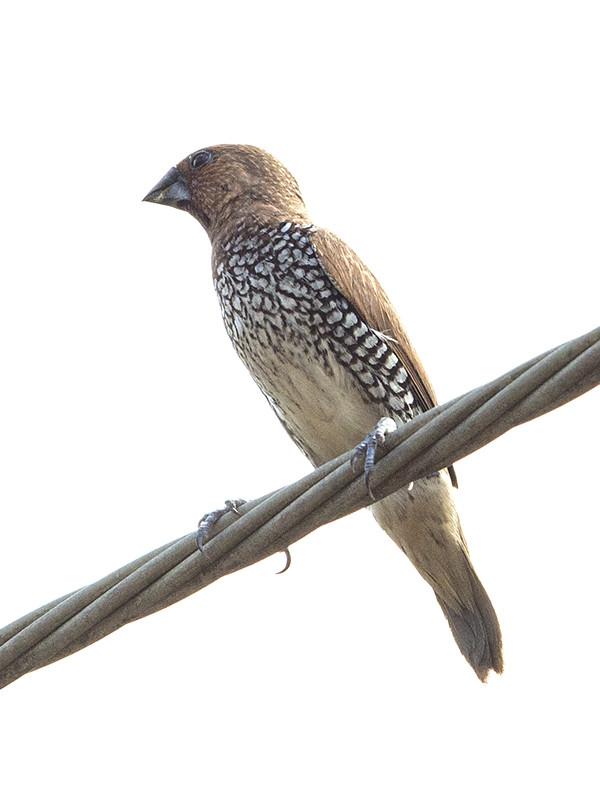 Scaly-breasted Munia   Sri Lanka