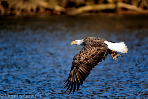 bird sunrise eagle action raptor jamesriver