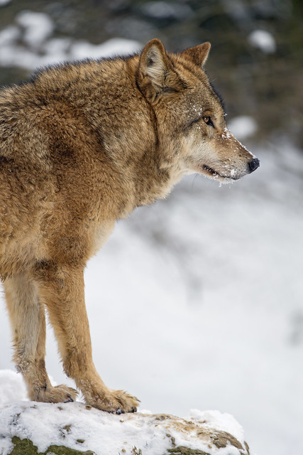 Profile of a standing wolf