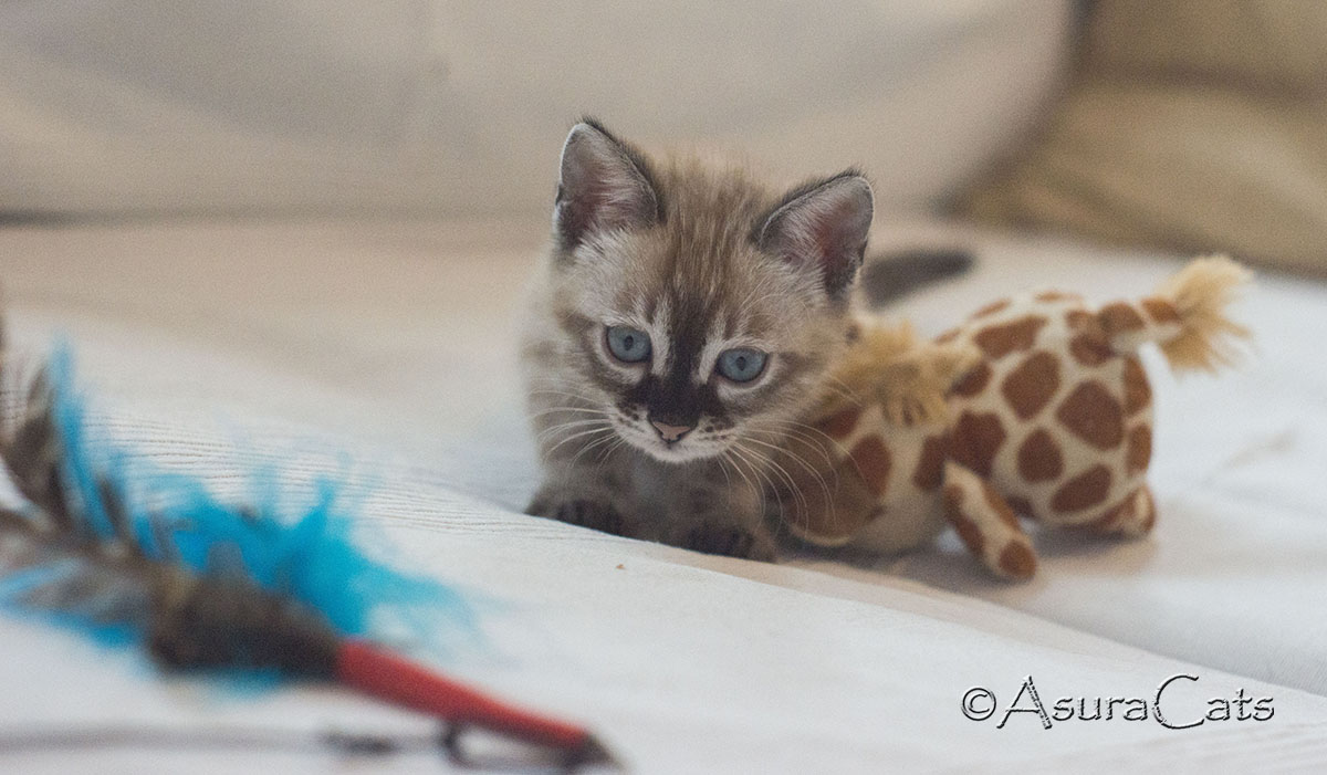 AsuraCats Pinky - Seal Lynx point snow Charcoal female Bengal kitten