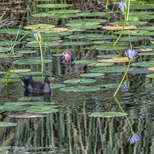 water lagoon reflections reeds waterlilies bird moorhen duskymoorhen gallinulatenebrosa karawathaforestpark brisbane