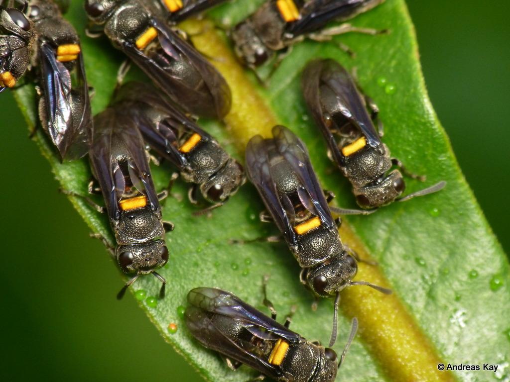 Honey wasps, Brachygastra scutellaris on extrafloral nectaries of Inga