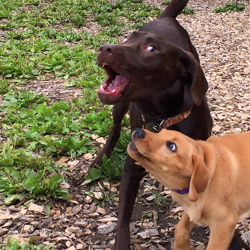 Mico and Gracie playing #dogpark #labradorretriever #puppy