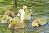 Canada Geese Goslings 15-0429-1547 by digitalmarbles