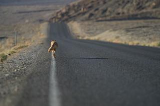 Coyote, Death Valley Nationalpark, CA | Roland Krinner