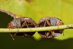 Bugs Hemiptera of Whitsunday Shire