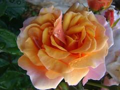 LA ROSE dans tous ses etats - 3
