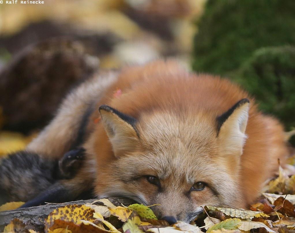 Fox -  Parc Animalier de Sainte-Croix October 2015 01