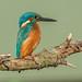DSC6436 Kingfisher.. by jefflack Wildlife&Nature