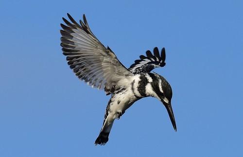 piedkingfisher cerylerudis gaborone botswana