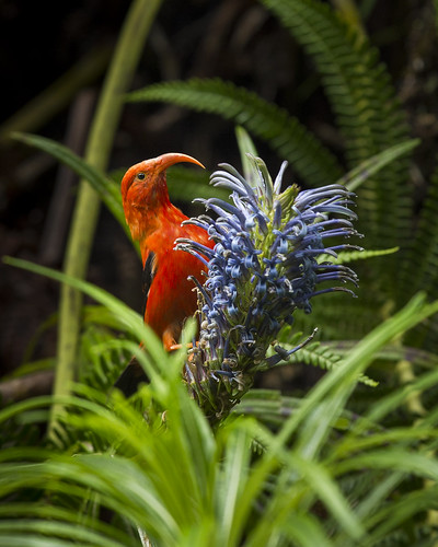 ʻIʻiwi (Drepanis coccinea) on a flowering ʻOpelu (Lobelia grayana)