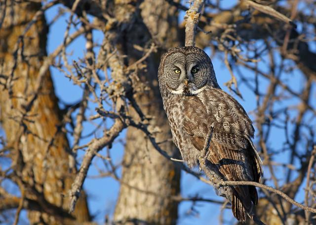 Great Gray Owl...#33