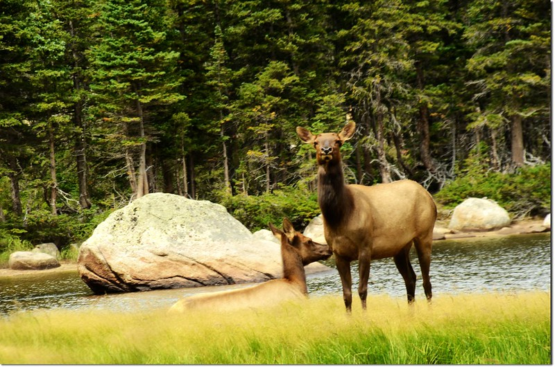 Elk at Jewel Lake 1