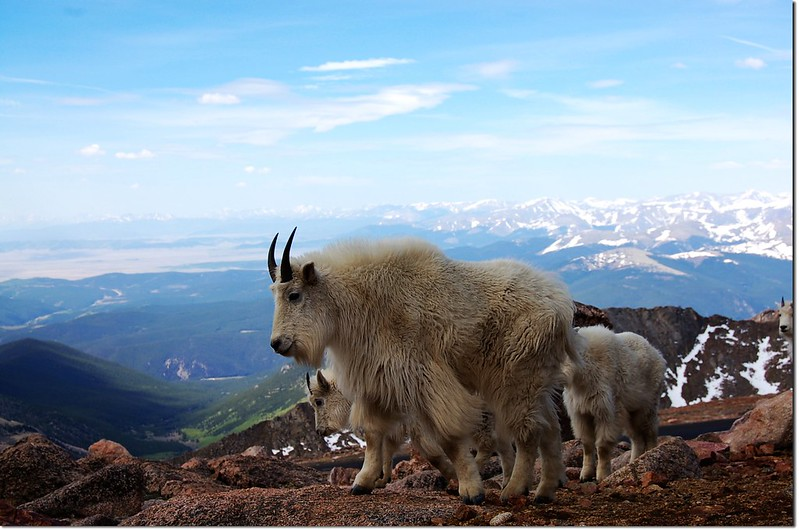 Mountain goats(Mt. Evans) 6