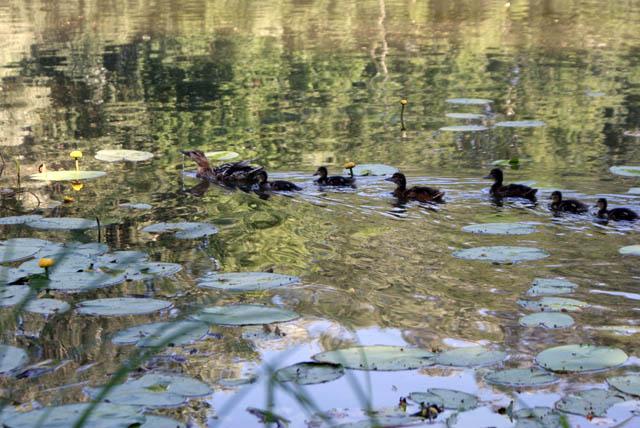 Canards sur le lac du parc de Wilanow