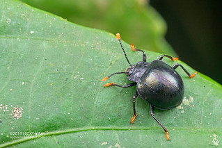 Handsome fungus beetle (Endomychidae) - DSC_4178