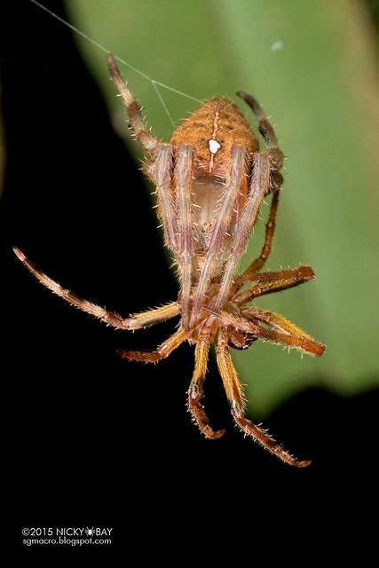 Orb weaver spider (Eriophora sp.) - DSC_3828