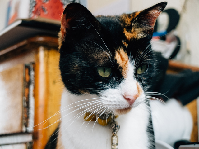 ava the calico cat