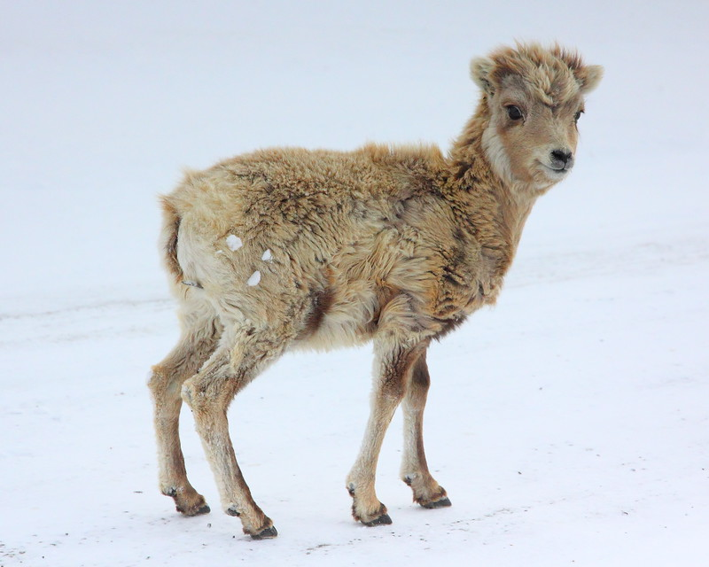 IMG_3873 Bighorn Sheep Lamb, National Elk Refuge