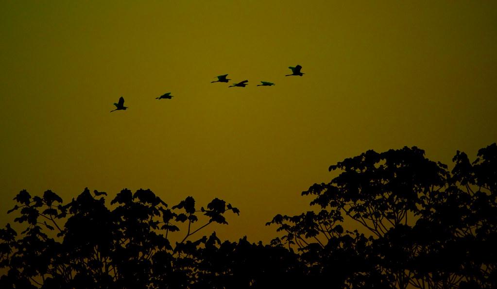 Great Egret (Ardea alba)_175
