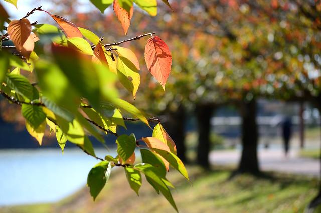 紅葉_サクラ Autumn colors