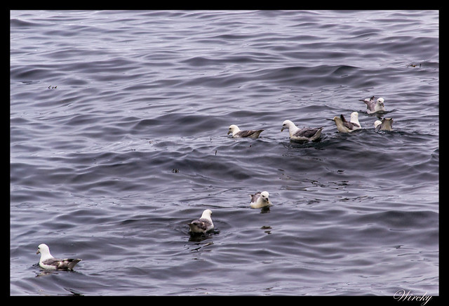 Gaviotas nadando en fiordo Grundarfjördur