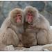Snow Monkeys, Macaca (Macaca fuscata) (Japanse makaak) in het Jigokudani Monkey Park, nabij Nagano in Japan … by Martha de Jong-Lantink