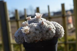 DSC_2246 Mammillaria plumosa  マミラリア 白星