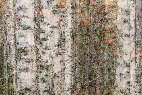 tree suomi finland leaf branch multipleexposure twig trunk birch tripleexposure multiexposure skrubu keuruu pni pekkanikrus hotellikeurusselkä