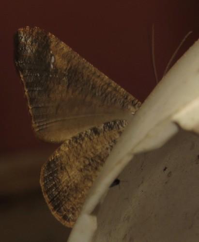 hedylidae moth peru richhoyer