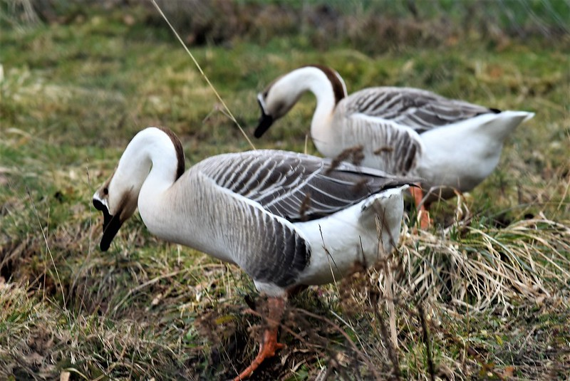 Geese 03.03 (6)