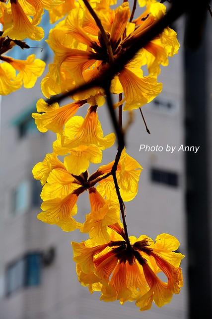 黃風鈴木37