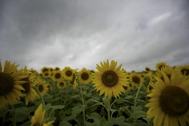 向日葵と曇り空