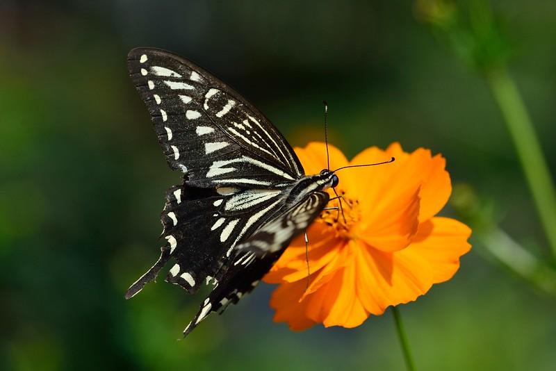 Papilio xuthus / Asian Swallowtail
