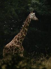 Giraffa camelopardalis reticulata DT [US New York Zoo] (3)