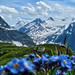 Alpine Forget-me-not and Griesgletscher - Nufenenpass - Ticino / Wallis - Switzerland [Explored #347] by Felina Photography - preparing for the Alps! :-)