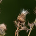 Small photo of Gone to Seed