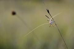 Tylopsis lilifolia