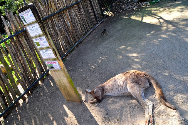 A Sleeping Wallaby at Featherdale Wildlife Park
