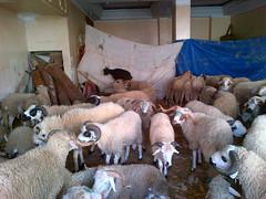 Rams for Eid