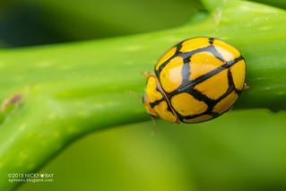 Ladybird (Heteroneda reticulata) - DSC_5268