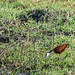 Small photo of African Jacana