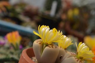 DSC_1493 Lithops dorotheae リトープス属 麗虹玉 (れいこうぎょく)