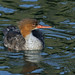 A87A5271 Red breasted merganser by steve.ray50
