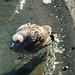 Small photo of American herring gull