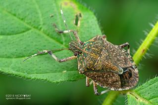 Stink bug (Pentatomidae) - DSC_8620
