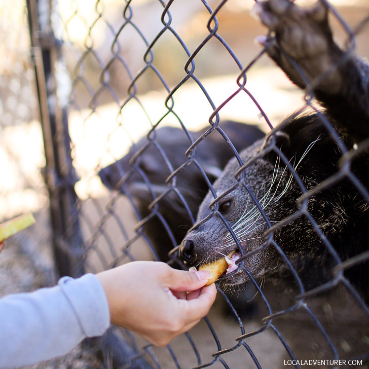 Binturong also known as bearcats are found in the forest of Southeast Asia. Come meet the Binturong ambassadors of Wild Wonders Bonsall CA.